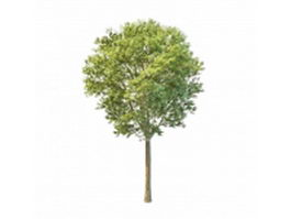Fraxinus tree 3d preview