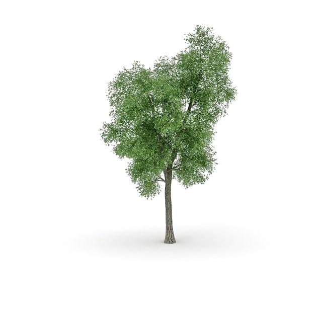 Black poplar tree 3d rendering