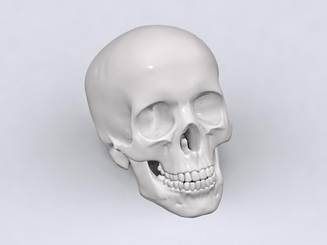 Adult human skull 3d rendering