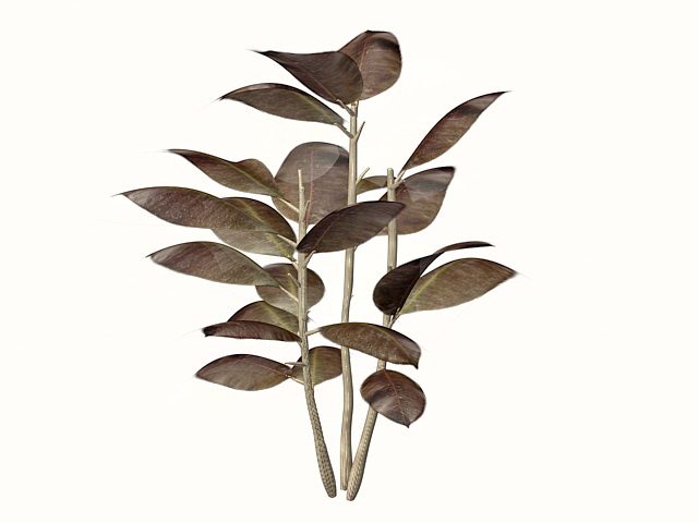 Ornamental rubber plant 3d rendering