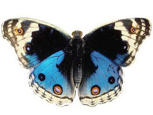 Blue Butterfly 3d rendering