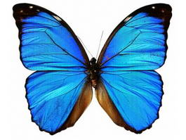 Blue Morpho Butterfly 3d preview