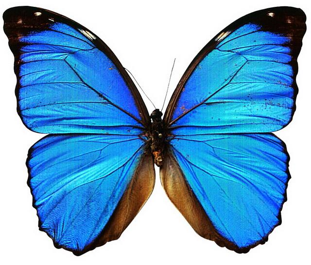 Blue Morpho Butterfly 3d rendering