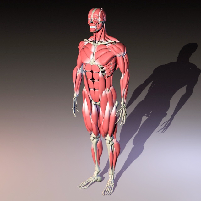 Full Body Skeleton with Muscles 3d rendering