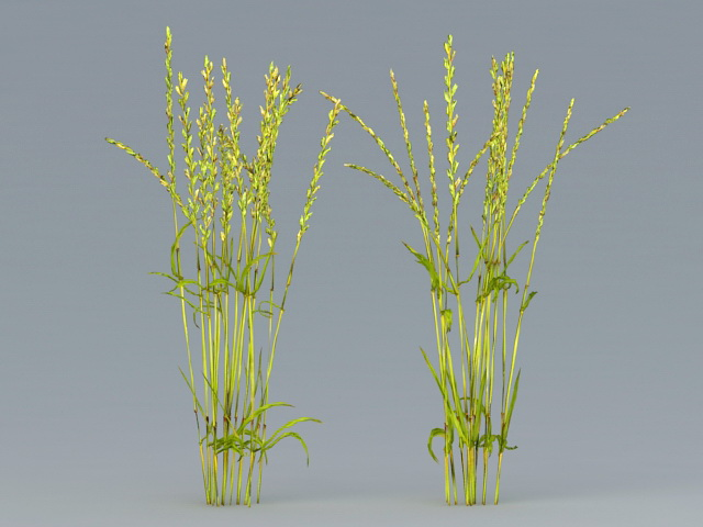 Rice Plant 3d rendering