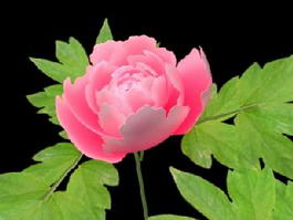 Animated Blooming Peony 3d model preview