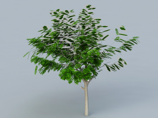 Small Acacia Tree 3d rendering