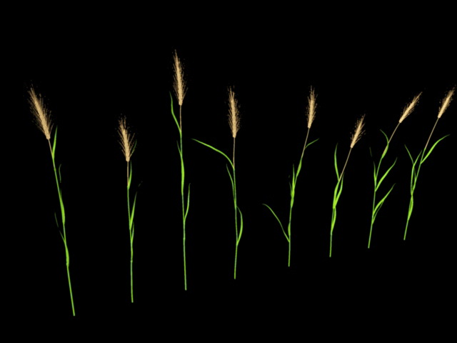 Reed Grass Plant 3d rendering