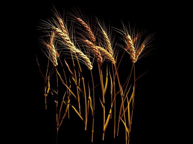 Wheat Stalk 3d rendering