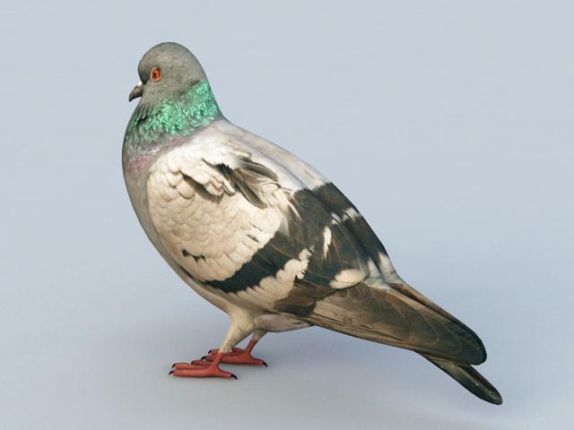 Rock Pigeon 3d rendering