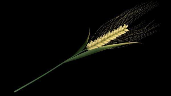 Wheat Spikelet Stem 3d rendering