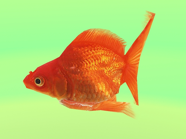 Animated Goldfish 3d rendering