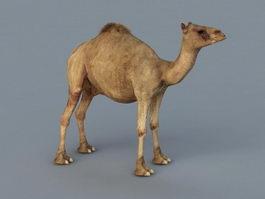 Dromedary Camel 3d preview