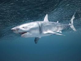 Underwater Shark 3d model preview