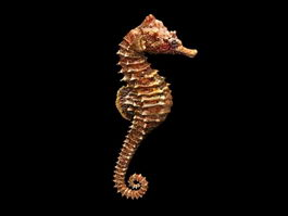 Adult Seahorse 3d preview