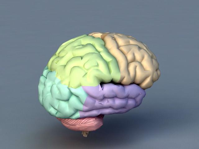 Human Brain 3d rendering