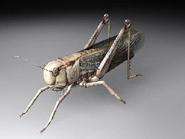 Locust Insect 3d preview