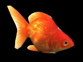 Orange Goldfish 3d preview