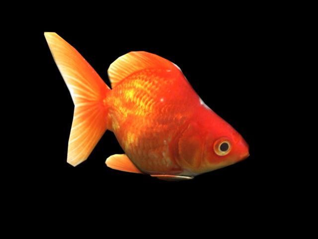 Orange Goldfish 3d rendering