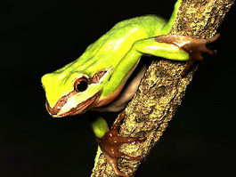 Green Tree Frog 3d preview