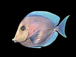 Blonde Tang Fish 3d preview