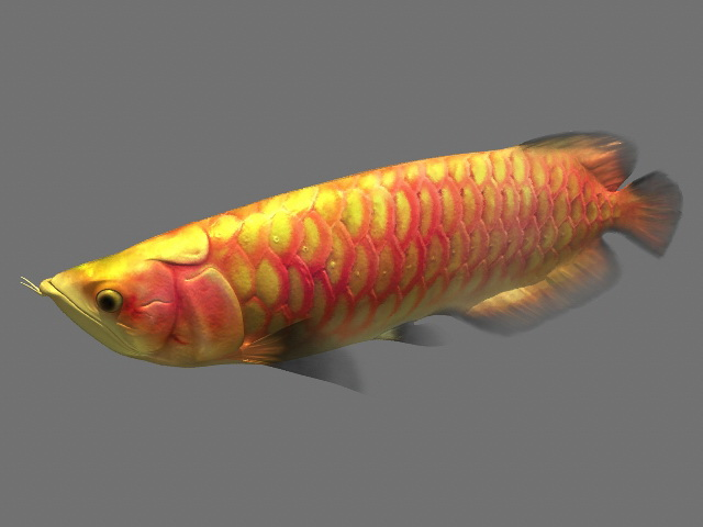 Arowana Fish Animated Rig 3d rendering