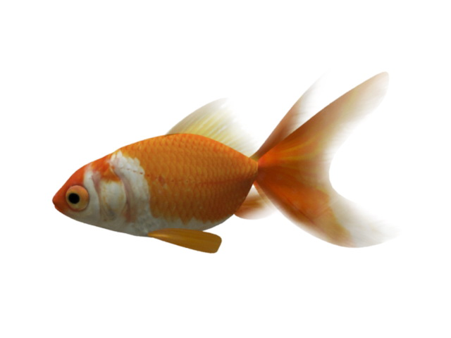 Animated Goldfish Rig 3d rendering