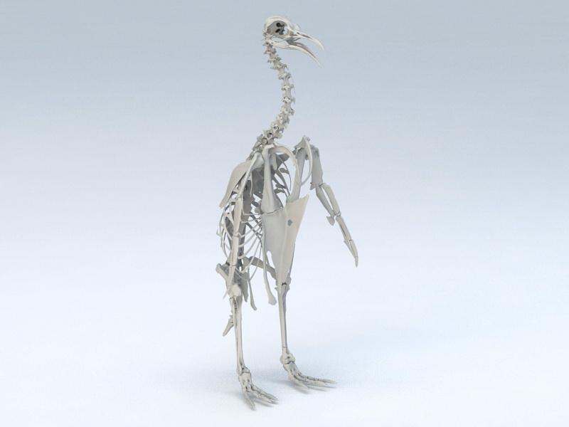 Emperor Penguin Skeleton 3d rendering
