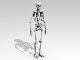 Human Anatomy Skeleton 3d preview