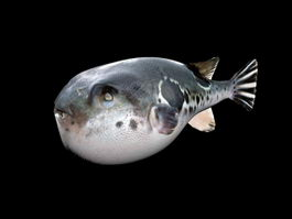 Puffer Fish 3d preview