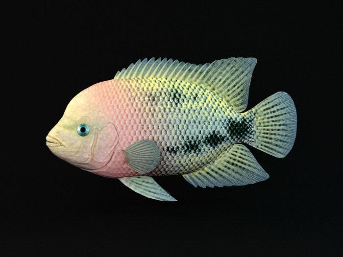 Redhead Cichlid Fish 3d rendering