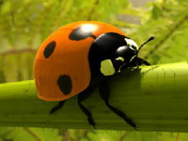 Ladybird Beetle 3d preview
