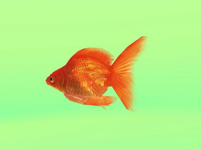 Animated Goldfish 3d rendering
