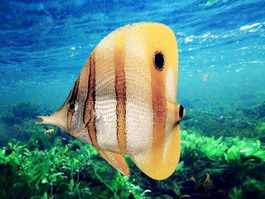 Copperband Butterflyfish 3d preview