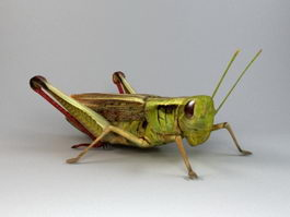 Lubber Grasshopper 3d model preview