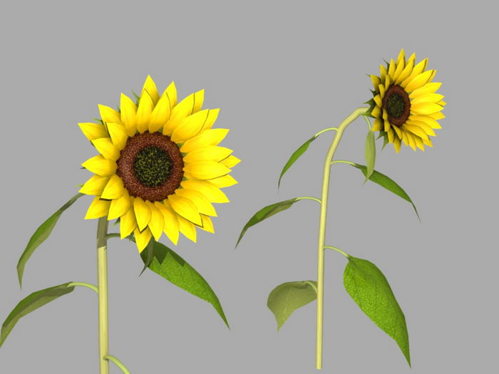 Sunflowers Plant 3d rendering