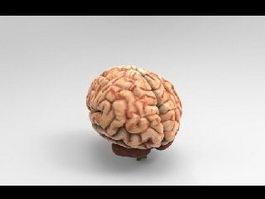 Human Brain 3d preview