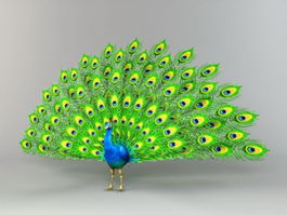 Peacock Displaying Feathers 3d preview