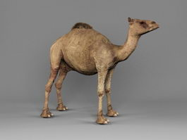 Arabian Camel 3d preview