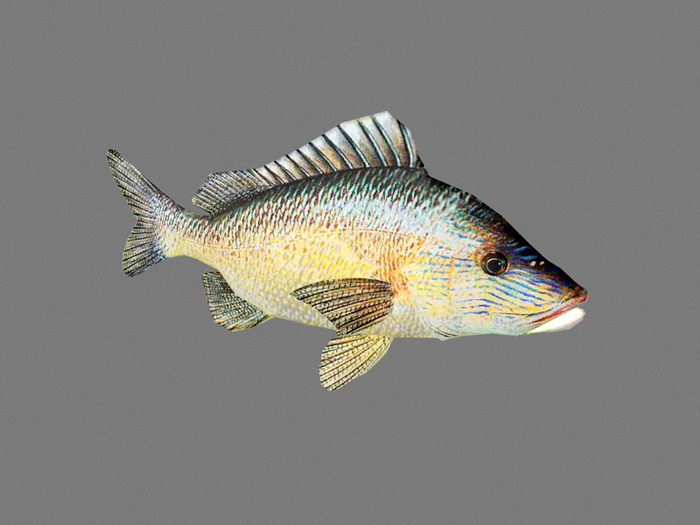 White Grunt Fish Animated 3d rendering