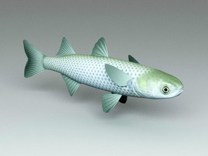 Mullet Fish 3d rendering