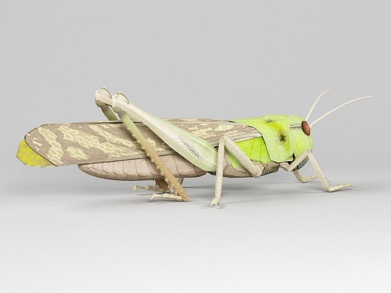 Migratory Locust 3d rendering