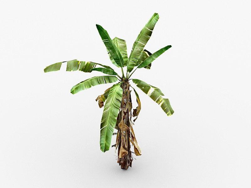 Small Banana Tree 3d rendering