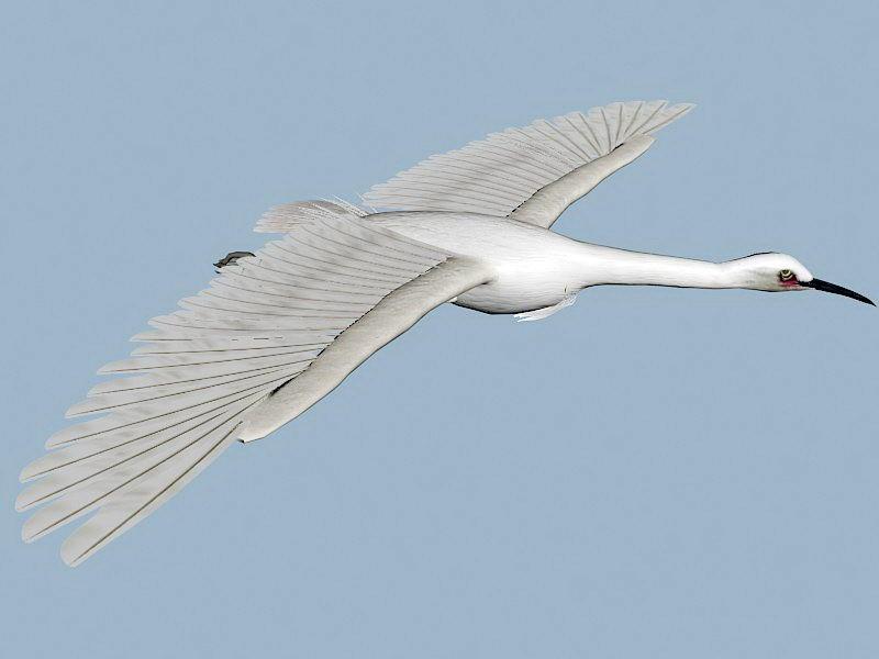 Flying Egret Bird 3d rendering