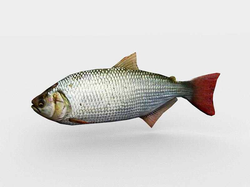 Animated Brycon Fish 3d rendering