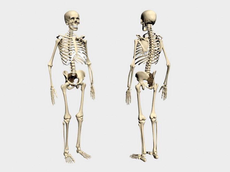 Human Skeleton 3d rendering