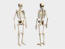 Human Skeleton 3d model preview