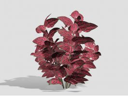 Hypoestes Phyllostachya 3d preview