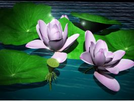 Lotus Flower Plant 3d preview