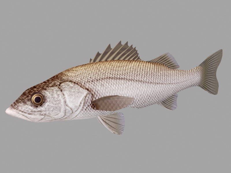 Animated Sea Bass Fish Rig 3d rendering